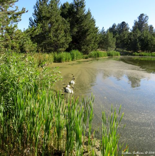 Proud procession Swans & cygnets at Sunriver Nature Center, Oregon 16July2016