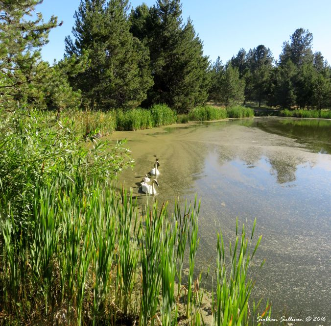 Swans & cygnets at Sunriver Nature Center, Oregon 16July2016