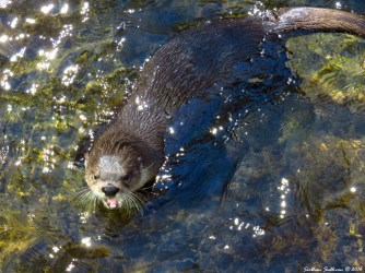 North American River Otter 24Sept2016
