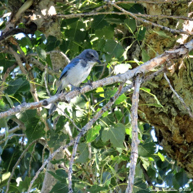 scrubjay-23july2016