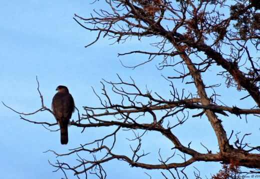 The watcher Cooper's Hawk 17Nov2016