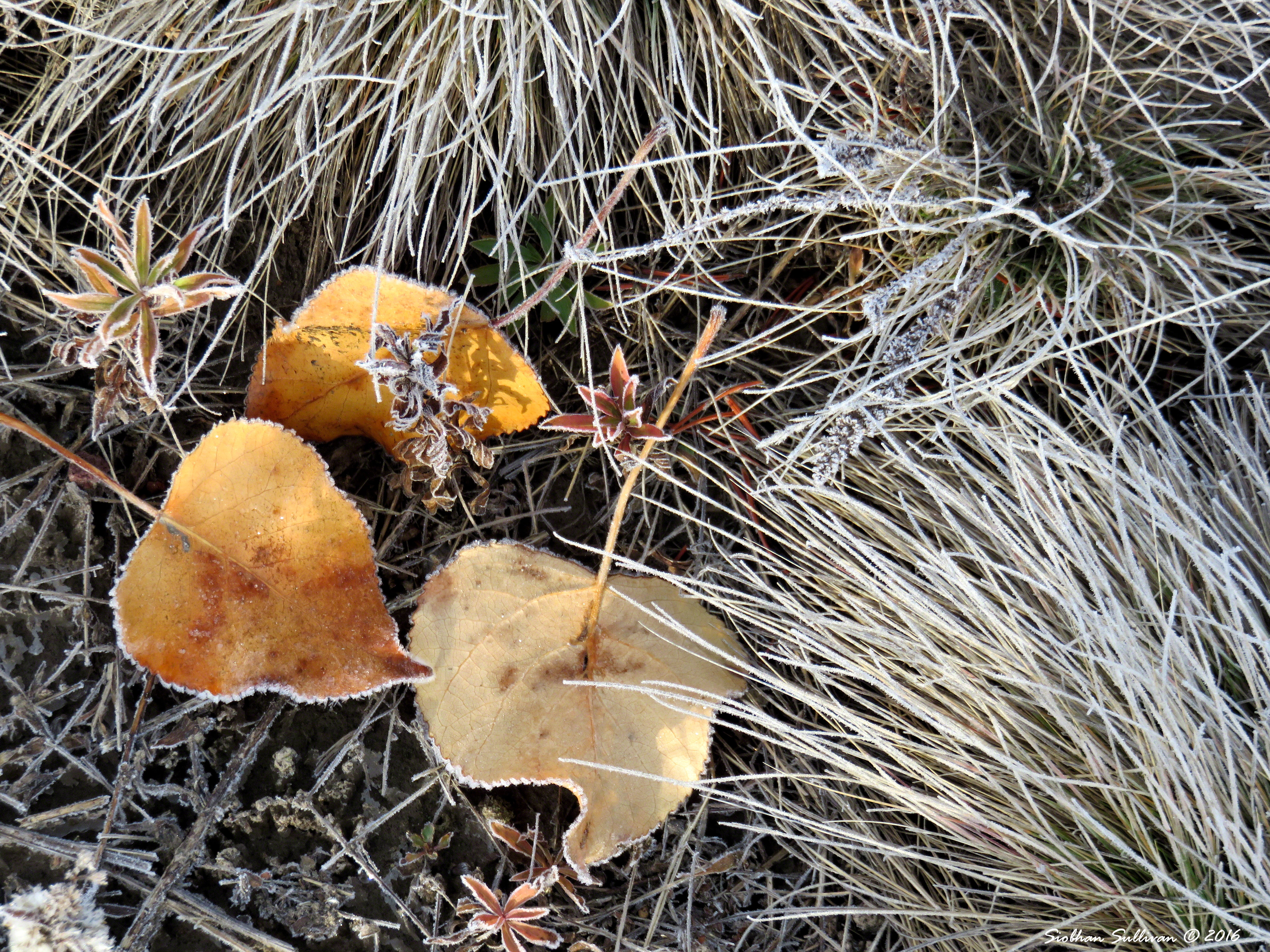 Frosty meadow at Sunriver 21Oct2016