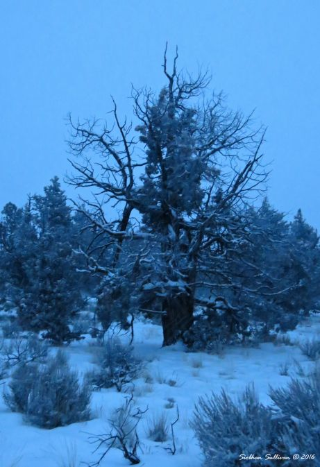 Snow covered juniper tree 14Dec2016