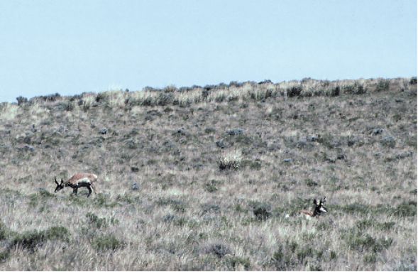 Pronghorn at Hart Mountain
