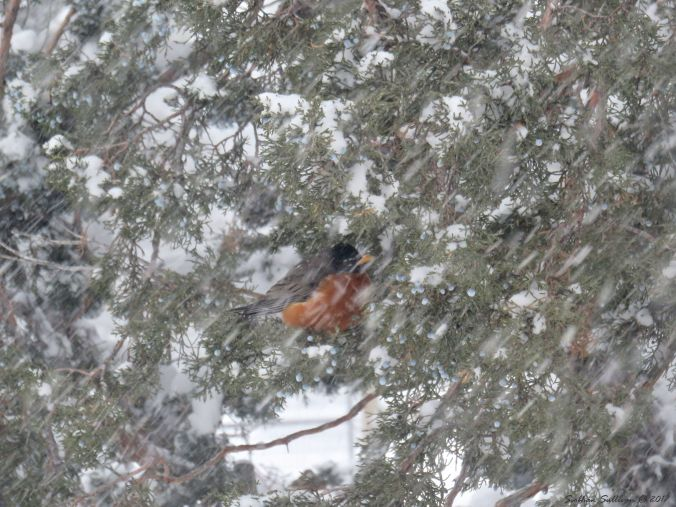 American Robin in western juniper 6Jan2017