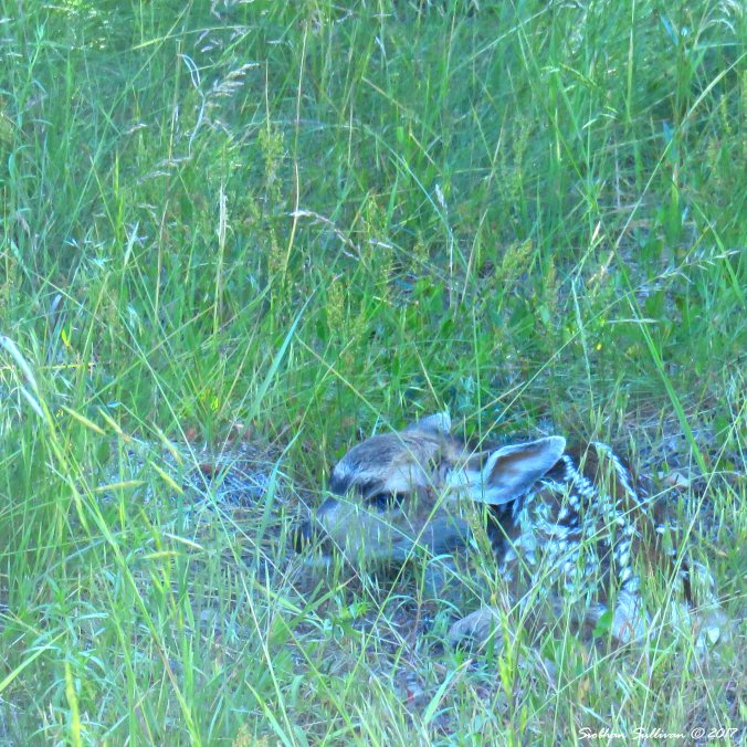 Hidden fawn near Camp Sherman, Oregon 25June2016