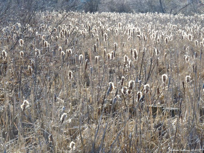 Cattails, Bend, Oregon 31Mar2017