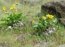 Balsamroot in the Columbia Gorge, WA 16Apr2017