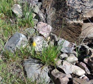 Yellow bell Trout Creek trail 3Apr2017