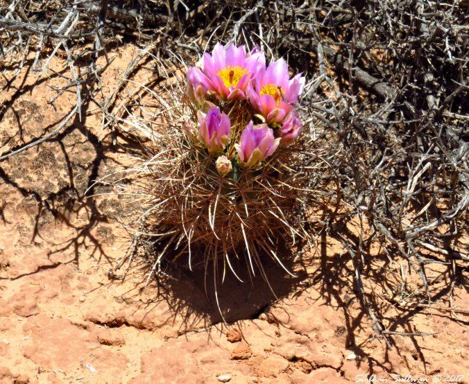 Whipple's Fishhook Cactus 3May2017