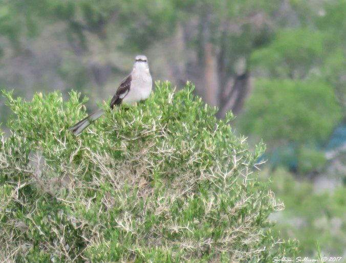 Northern mockingbird 7May2017