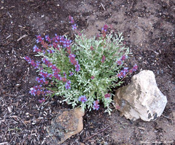 Water wise garden. Purple sage in landscape 14June2017
