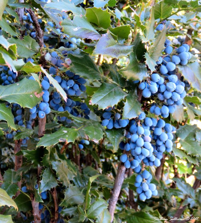 Fruit-full Oregon grape 1August2017