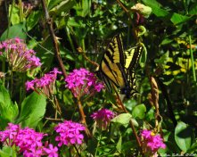 Tiger swallowtail butterfly 22July2017