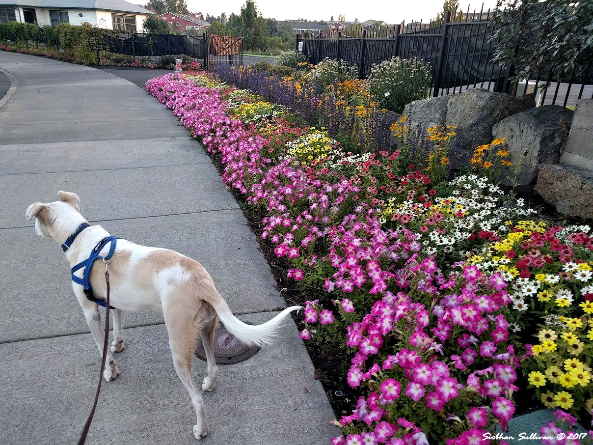 Flowers in Old Mill district, Bend 25Aug2017
