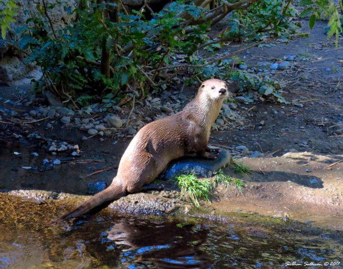 Otter at the museum in Bend, Oregon 27September2016