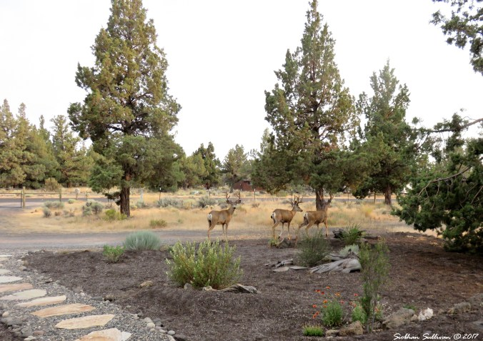 Three mule deer bucks in Bend, Oregon 9August2017