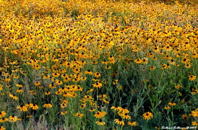 A field full of black-eyed Susan flowers in bloom