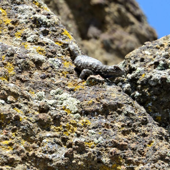 Lizard on lichen covered rocks at Fort Rock, Oregon 10June2016
