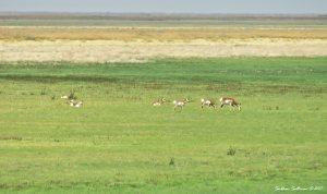 Herd of pronghorn at Malheur NWR in Oregon 14Sept2017