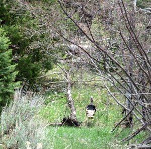 Wild turkey at Great Basin National Park, Nevada 7May2017