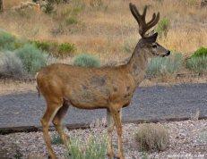Mule Deer buck 8August2017