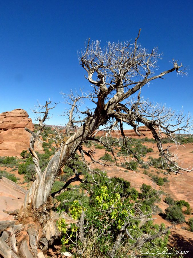 Weathered tree at Arches National Park in Utah. 3May2017
