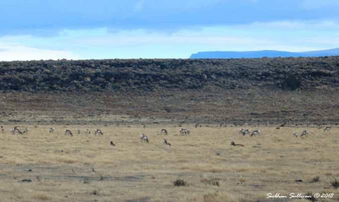 Pronghorn herd near Hart Mountain, Oregon 1November2017