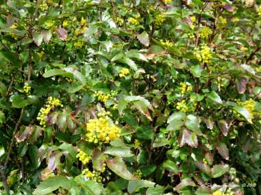 Oregon Grape Blossoms with bumblebee 10April2018