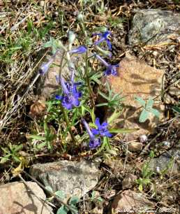 Gray Butte Larkspur 2 9May2018