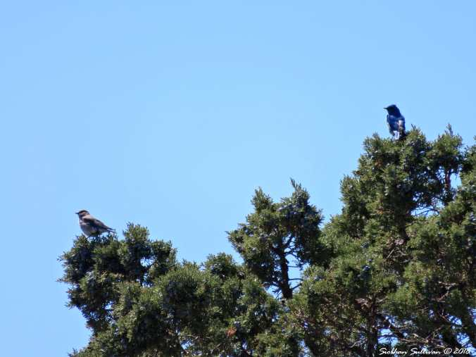Mountain bluebird pair at Glass Buttes, OR 1May2018