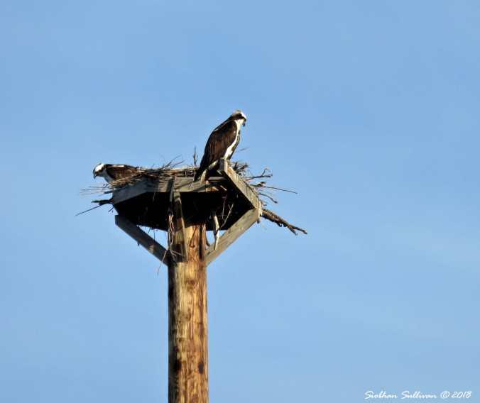 Ospreys on Nest 27April2018