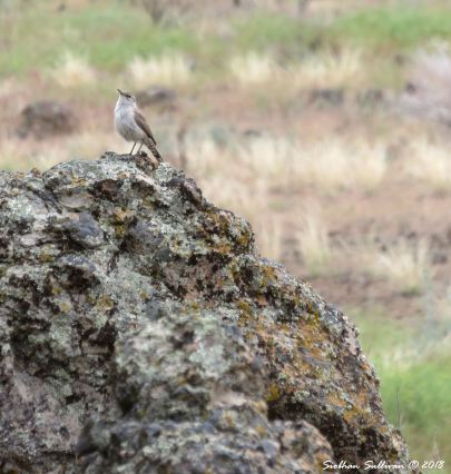 Canyon wren at Clarno Palisades 15May2018