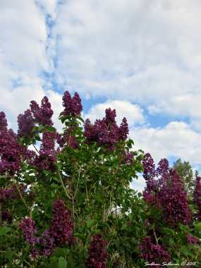 Lilacs in bloom 14May2018