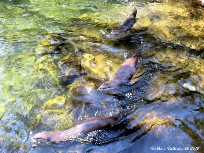 Three Otters Cooling at the High Desert Museum, Bend, Oregon 19March2018