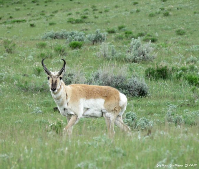 Pronghorn buck at Yellowstone National Park 1June2018