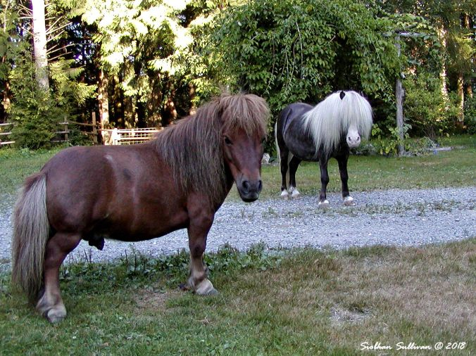 Scooby Doo & Calypso too Dwarf Mini and Mini horse 9January2002