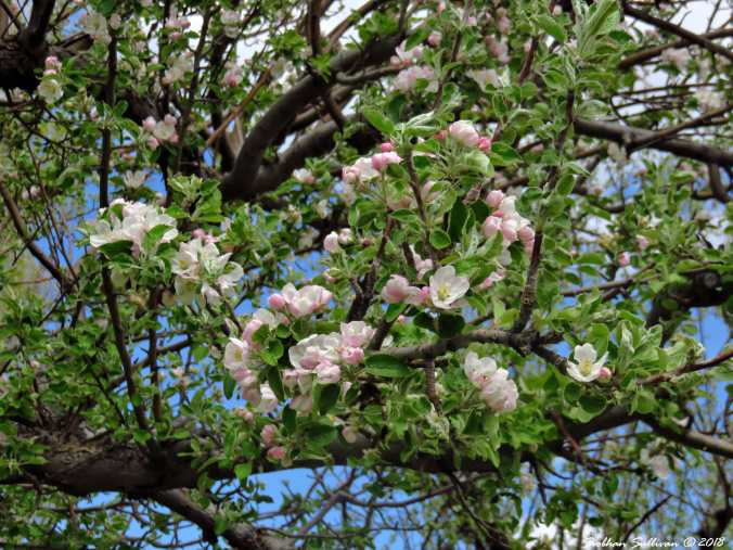 Apple blossoms at the McCoin Orchard at Gray Nutte, Oregon 9may2018