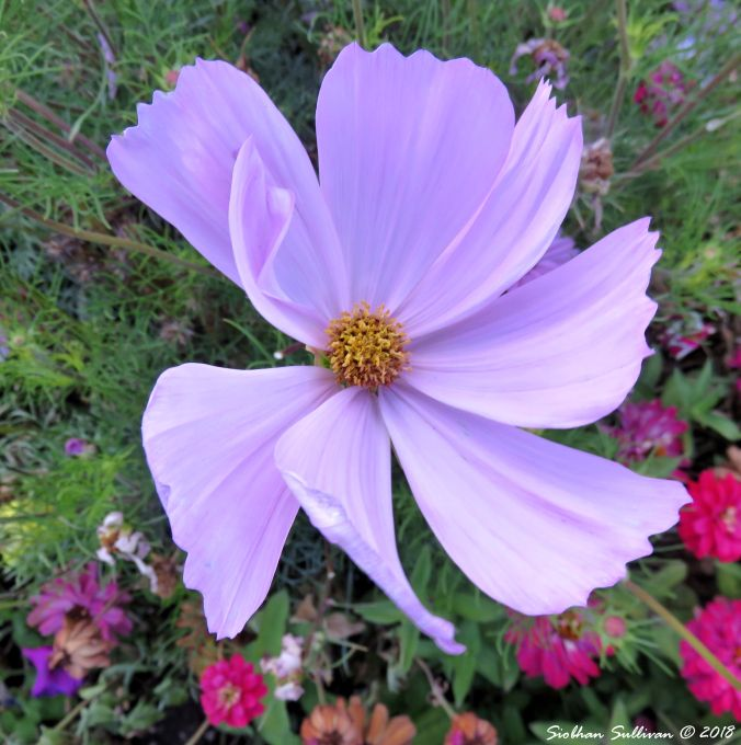 Quote on the Cosmos , close-up of cosmos flower 13September2018