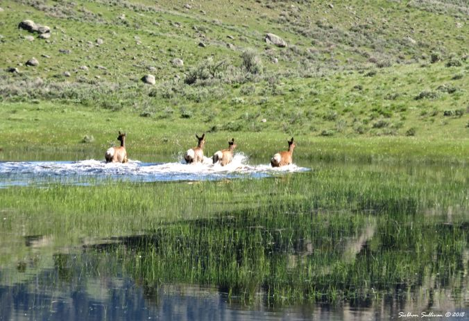 Yellowstone Hidden & Revealed Elk 1June2018