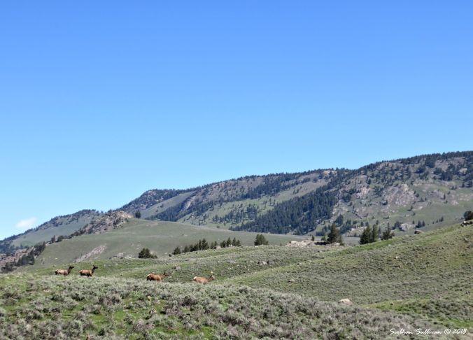 Yellowstone Hidden & Revealed, Elk in the Lamar Valley 1June2018