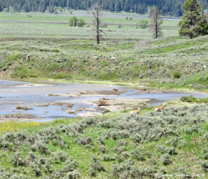 Yellowstone Hidden & Revealed Pronghorns 1June2018
