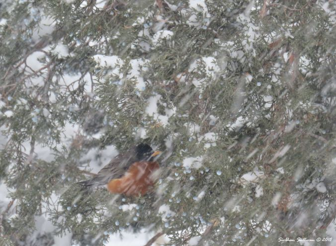 Seasons Robin in a snowstorm 6January2018
