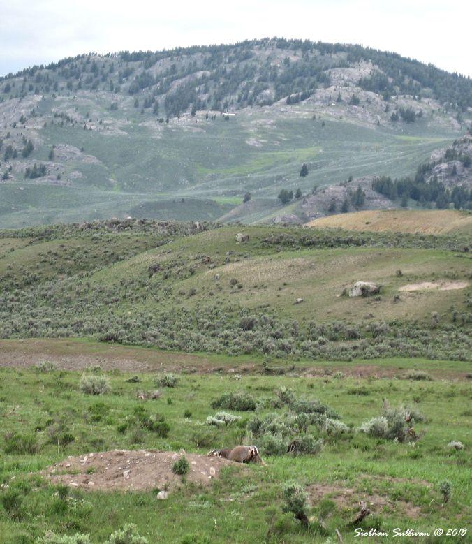 Badgers Yellowstone NPk 13June2011