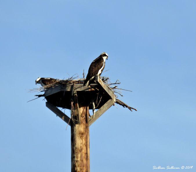 Love nature, Ospreys on nest, OR 26April2019