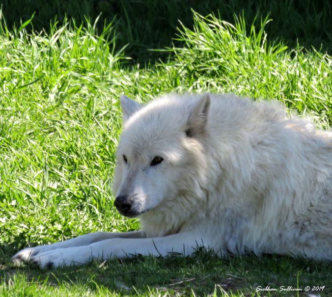 Love Nature Gray wolf, MT 2June2018