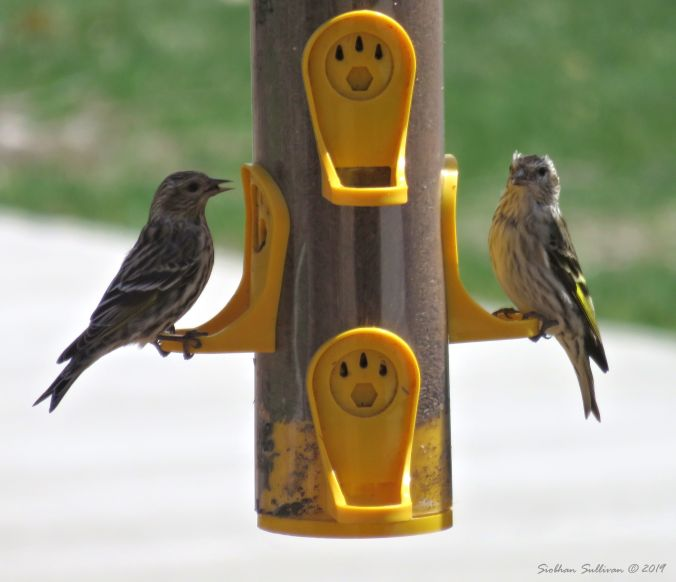 Pine siskins, OR 7April2018