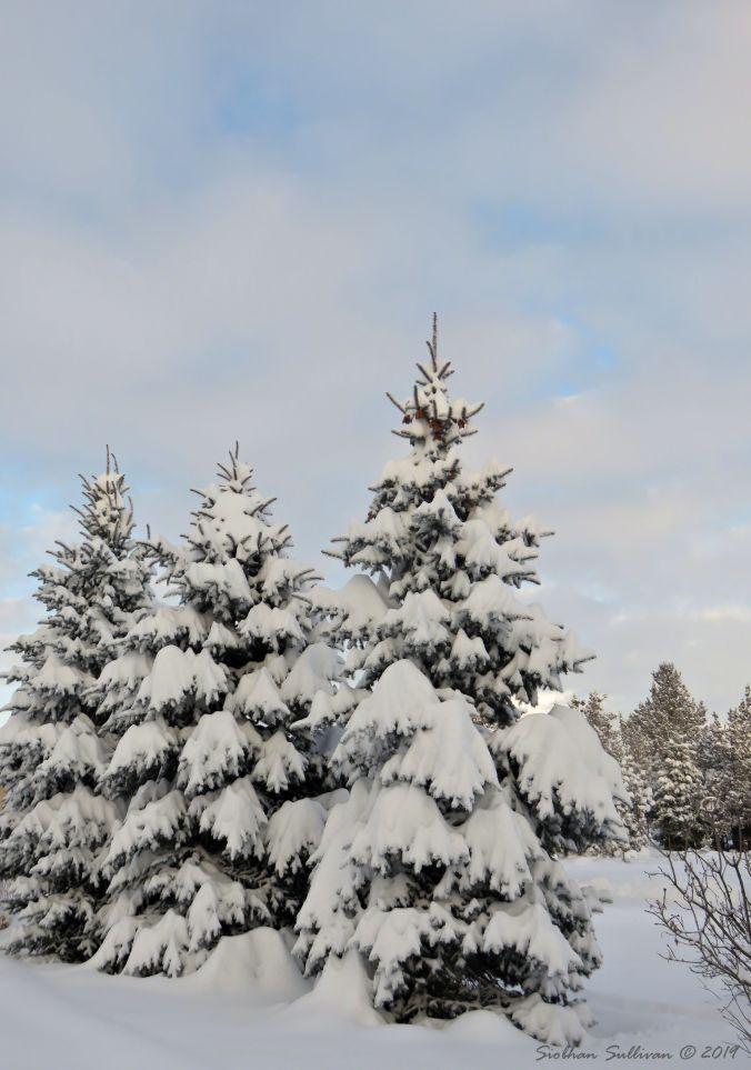 Snowy Trees 24February2019