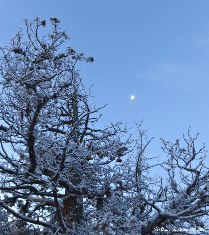 Winter Walks Juniper 9January2019