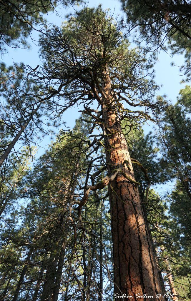Ponderosa pine tree 31May2019